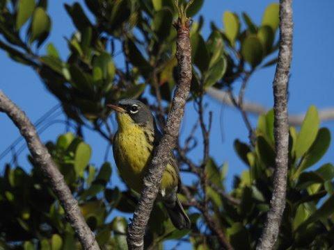 Kirtlands warbler by Woody Bracey