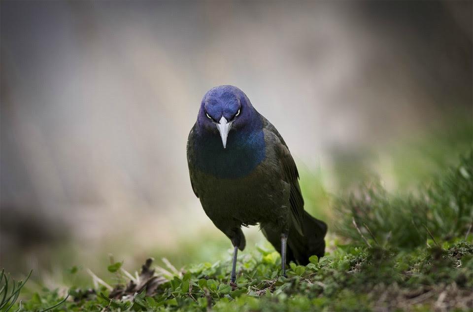 suran-angry bird