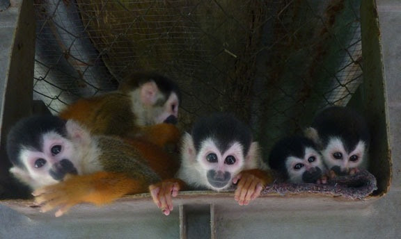 These five fortunate Mono Titis and little Mikey will be released during their next synchronized breeding period.