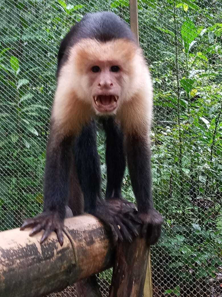 Male capuchin monkey posturing at camera with mouth open