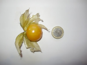 Cape gooseberry compared with 1 euro coin