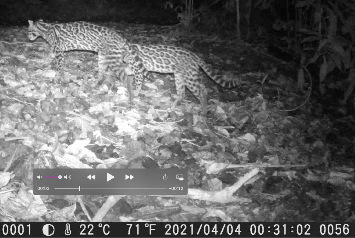 Camera trap photo of two ocelots