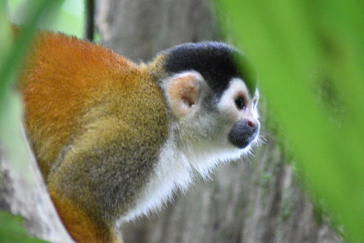 Squirrel monkey looking out into the distance