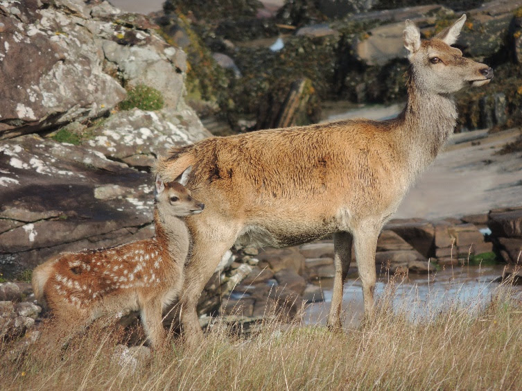 Newswise: Red deer are evolving to give birth earlier in a warming climate