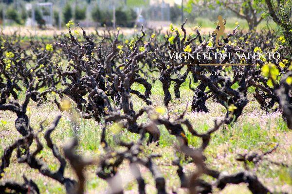 Vineyard of The Farnese Group - Producers of Primitivo di Manduria DOP Vigne Vecchie