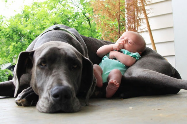 http://s.fishki.net/upload/post/201412/02/1339454/7172310-r3l8t8d-650-cute-big-dogs-and-babies-12.jpg
