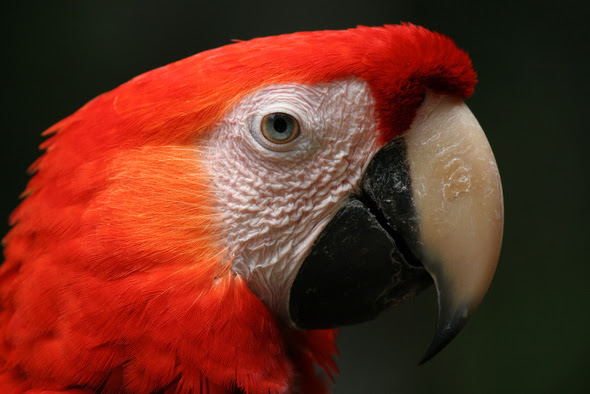 Free flying scarlet macaw...