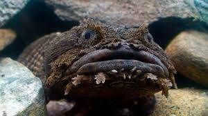 Oyster Toadfish (Fish of Coastal New Jersey) · iNaturalist