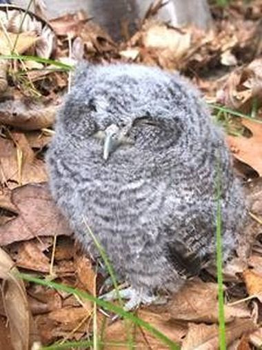 small grey owl in leaves