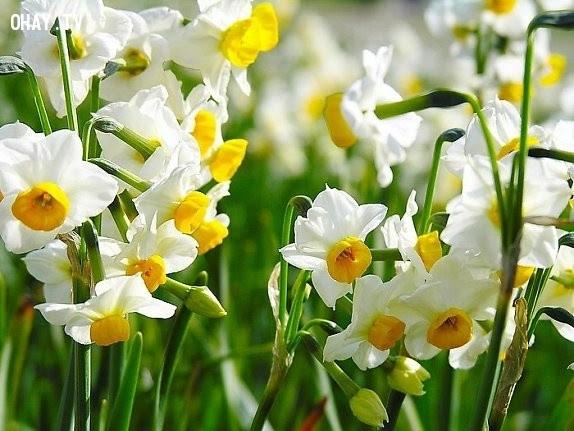 Hoa Thủy Tiên - Em ích kỷ lắm,hoa ngữ,ngôn ngữ các loài hoa,hoa quả,hoa đẹp