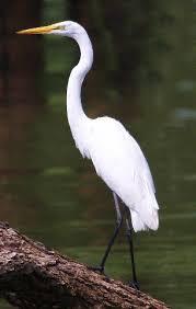 Image result for Egret