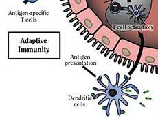 Illustration of dendritic cell adaptive immunity