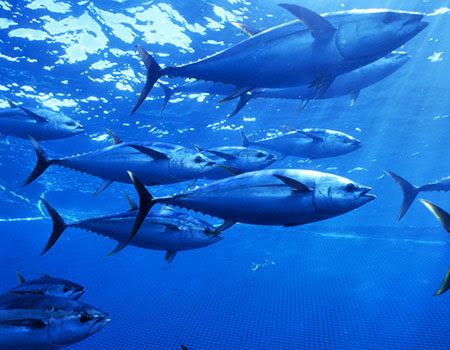 Yellowfin tuna in Pacific Ocean
