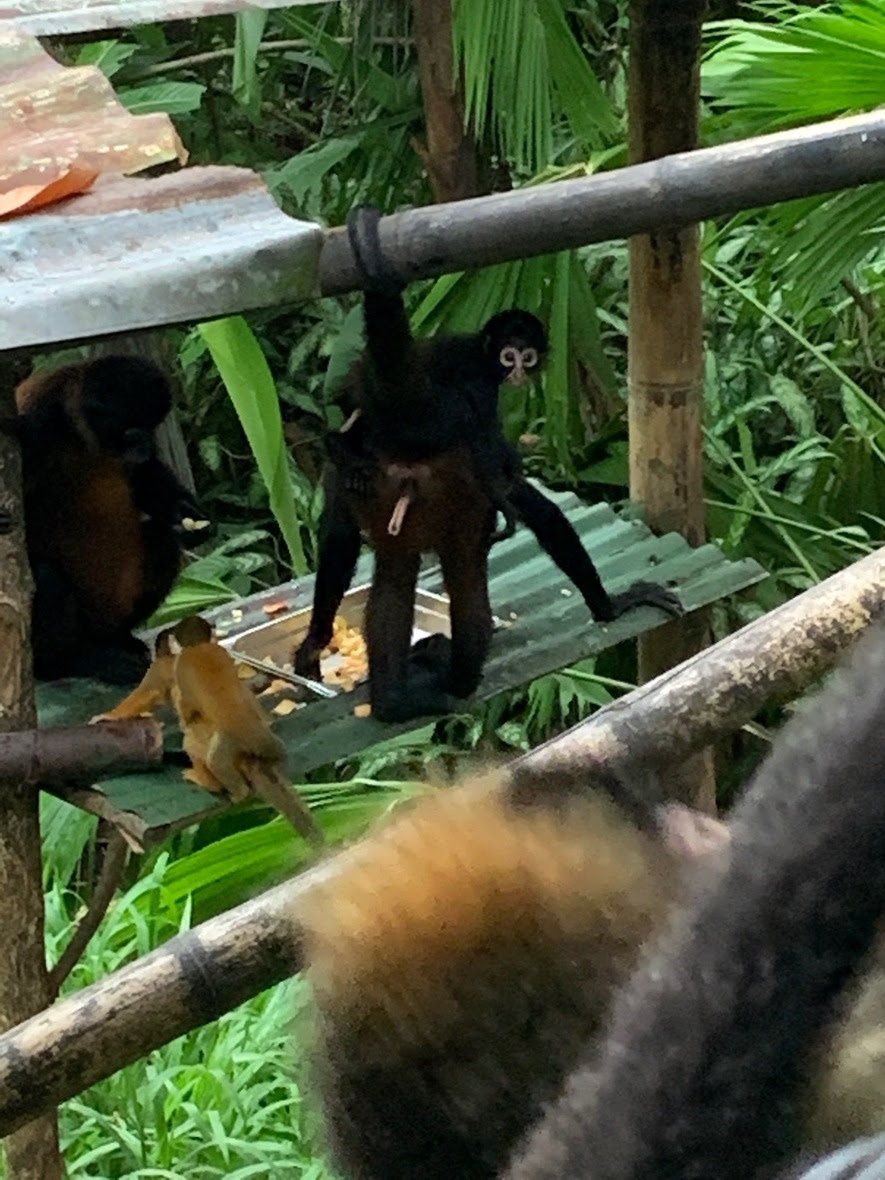 Two spider monkeys, one with a baby on her back looking at the camera, and a squirrel monkey with a baby on her back, stand around a food tray