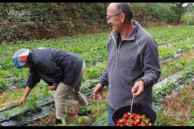 Les fraises cueillies pendant la journée portes ouvertes ont été en partie transformées en confitures qui seront vendues lors du marché de Noël.