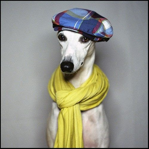 A Collection of Wonderful Whippet Portraits | Whippet, Doggie ...
