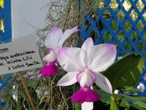 Cattleya walkeriana fantasia