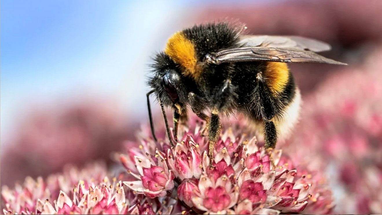 Fish and Wildlife Is Taking Comments on Environmental Threats to the American Bumble Bee   Bumblebeemain-1320x743