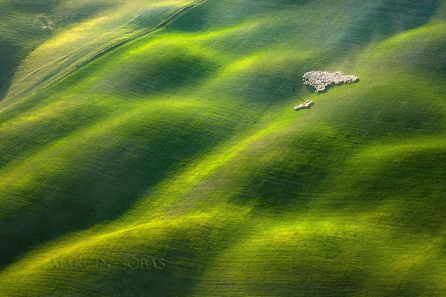 Đàn cừu ở cánh đồng thung lũng Tuscan