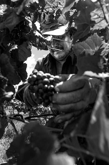 Trabajador contratado, que cosecha a destajo, durante la cosecha de uva tannat en el viñedo de Calvinor en Bella Unión. / Foto: Sandro Pereyra
