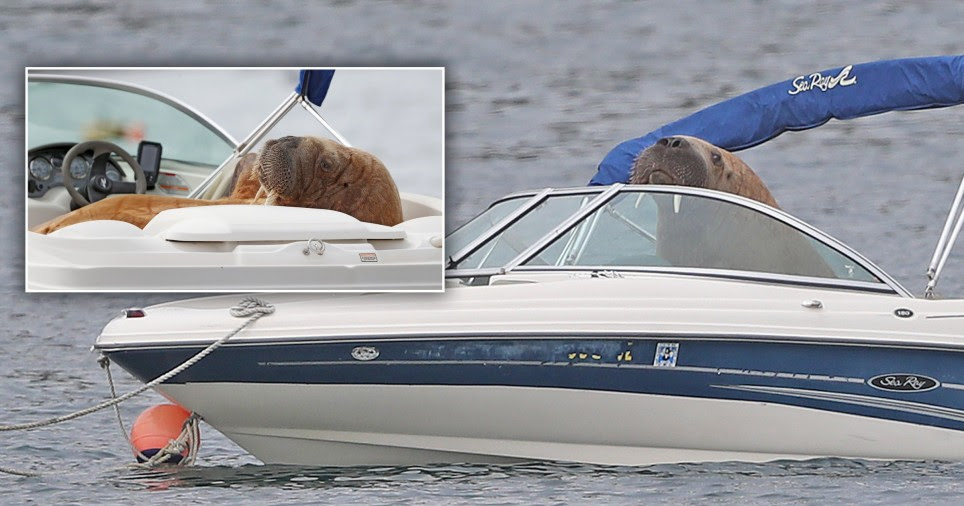 Walrus hijacks and sinks boats off the shores of Britain and Ireland