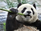 Giant panda's cuteness may have averted extinction