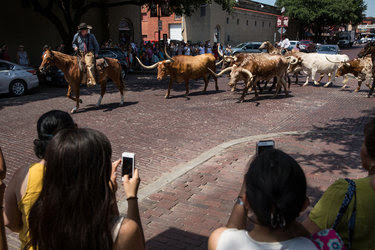 A re-enactment in July of a cattle drive at the Fort Worth Stockyards, which is now represented in the Texas Legislature by Ramon Romero Jr., a son of Mexican immigrants.