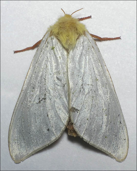http://www.funet.fi/pub/sci/bio/life/insecta/lepidoptera/exoporia/hepialoidea/hepialidae/hepialus/humuli-3mb.jpg