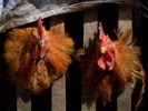 Avian influenza gain-of-function studies to commence