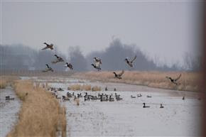waterfowl in a winter flooded rice field