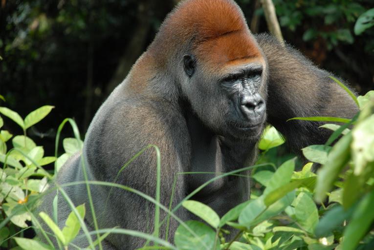File:Gorilla gorilla11.jpg