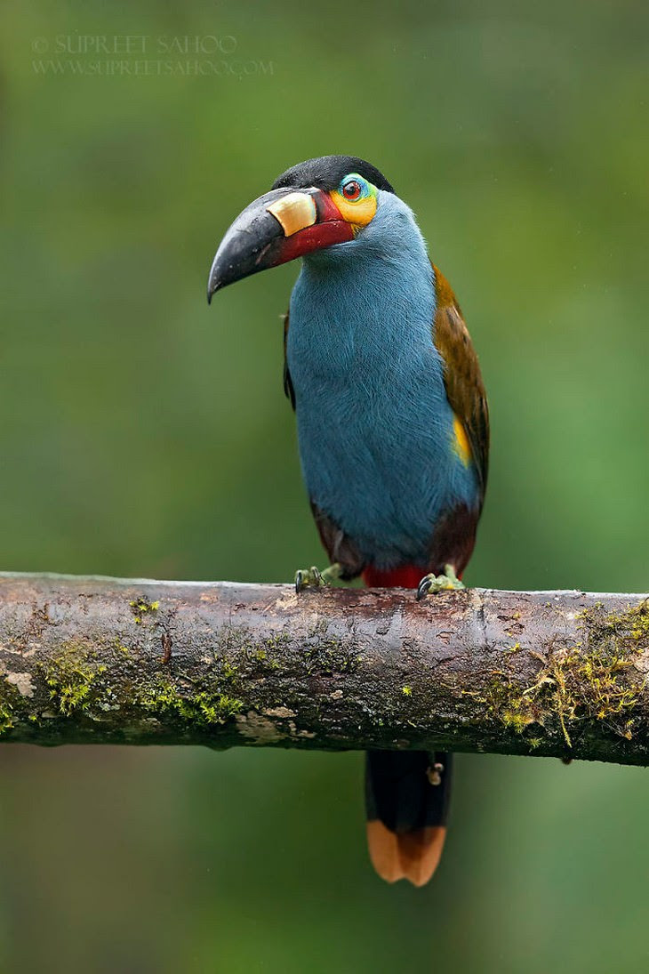 16.Plate-Billed Mountain Toucan