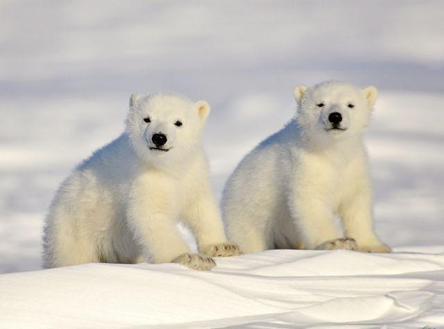 A photo of polar bear cubs in the snow