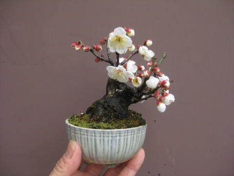 盆栽:野梅が咲く|春嘉の盆栽工房: