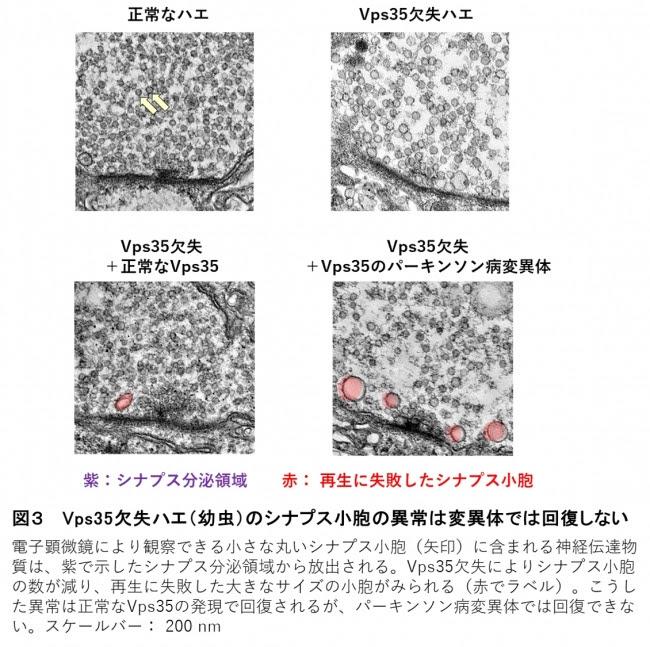 図3  Vps35欠失ハエ(幼虫)のシナプス小胞の異常は変異体では回復しない