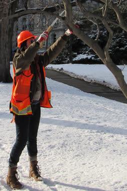 Prune oak trees in winter