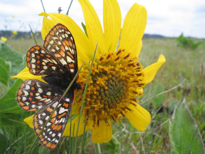 RSTaylors_checkerspot_butterfly_Aaron_Barna_USFWS_FPWC_commercial_use_ok.jpg