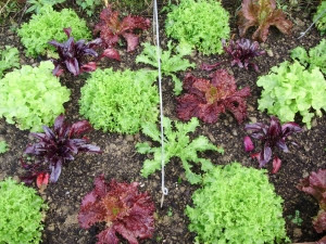 A selection of winter lettuce, endive & beetroot for leaves. 1.11.11