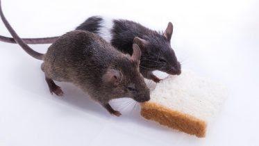 Lab Rats Share Food