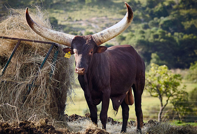 Cyril Ramaphosa's Ankole bull sells for R640 000