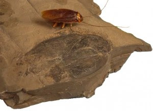 Giant Fossil Cockroach